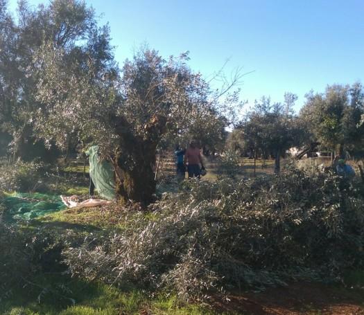 SR Olive Harvest 1